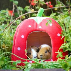 Guinea Piggies : Photo