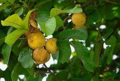 Santol fruit , buah kecapi (Sandoricum koetjape)