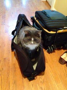 Bon voyage Norwegian Forest Cat, Cairn Terrier, Happy, Gatos, Bon Voyage, Cairn Terriers, Ser Feliz, Being Happy