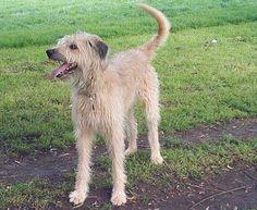 Lurcher (out of a Bedlington x Whippet, by an Irish Terrier x Greyhound)