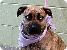 Ridgewood, NY - American Pit Bull Terrier Mix. Meet Gem a Dog for Adoption.
