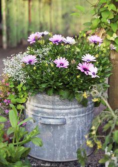 """Tähtisilmä ja """"poutapilvi"""" eli harsotyräkki 'Diamond Frost' täydentävät toisiaan paitsi nimiensä, myös kontrastia tuovien kukkiensa ansiosta. Etelä-Afrikasta kotoisin oleva tähtisilmä vaatii aurinkoisen paikan, poutapilvi viihtyy auringossa ja varjossa. Molemmat ovat helppohoitoisia, pitkään kukkivia lajeja. Text Liisa Häkli, photo Minna Mercke Schmidt viherpiha.fi"""