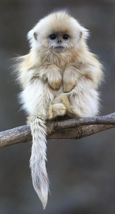 Well doesn't that beat all! Snubnosed monkey, Asia