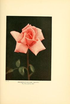 The practical book of outdoor rose growing for ...