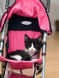 Choo Choo [4]  kitten