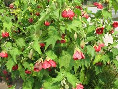 flowering maple--just learned these exist!