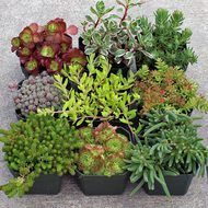 Rock Garden Hardy Succulent Collection: 9 hardy succulents perfect for planting in rock gardens. Various color, form, and texture. Easy to grow. Will include hardy Sempervivum, Sedum, Rosularia, and D