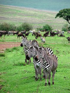 Zebras,Serengeti National Park, Tanzania.
