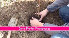 Como plantar frambuesas