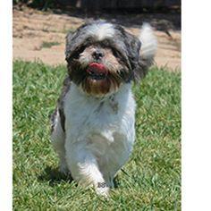 Marvin is an adoptable Shih Tzu Dog in Santa Barbara, CA.  ...