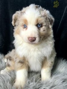 #AustralianShepherd #Charming #PinterestPuppies #PuppiesOfPinterest #Puppy #Puppies #Pups #Pup #Funloving #Sweet #PuppyLove #Cute #Cuddly #Adorable #ForTheLoveOfADog #MansBestFriend #Animals #Dog #Pet #Pets #ChildrenFriendly #PuppyandChildren #ChildandPuppy #LancasterPuppies www.LancasterPuppies.com Australian Shepherd Puppies, Lancaster Puppies, Animals Dog, Puppies For Sale, Mans Best Friend, Puppy Love, Pets, Sweet, Holy Ghost