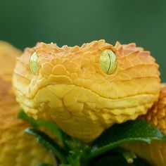 Close-up of a yellow eyelash viper. African Bush Viper, Beautiful Creatures, Animals Beautiful, Animals And Pets, Cute Animals, Colorful Snakes, Yellow Snake, Reptile Room, Yellow Animals