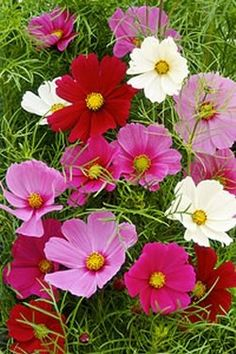 10 Low-Maintenance Flowers for Busy Gardeners: Cosmos Flower Cart, My Flower, Flower Power, Summer Porch, My Secret Garden, Flower Beds, My Happy Place, Houseplants, Planting Flowers