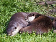 Otters snuggle in the sun - July 9, 2014