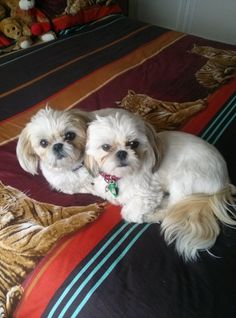Check Out Shih Tzu Puppies Animals Shih Tzus, Shih Tzu Puppy, Puppies And Kitties, Cute Puppies, Cute Dogs, Doggies, Lion Dog, Dog Cat, Animals And Pets