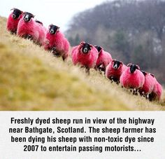 Pink Sheep for your entertainment! Only in Scotland! Laat my aan julle eenstuk pakkie dink!!!!