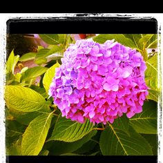 Photo I took with the iPhone. Front yard Hydrangea.