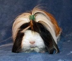 Mia posted by Guinea Pig Fun.