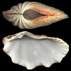 Tridacnidae pictures