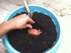 1000 id 233 es sur le th 232 me plante de patate douce sur culture des pommes de terre