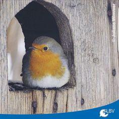 Freitag der 13. beginnt ungemütlich: #Sturmtief #Egon hat auch #Bayern fest im Griff. Passt heute gut auf euch auf!  #sturm #bavaria #rotkehlchen #europeanrobin #redbreast #vogel #vögel #wochenende #weekend #freitag13 #instabird #instabirds #birdsofinstagram #naturschutz #birds #natureconservation #nature #garden #gartenvögel