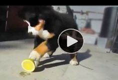 SILLY PUPPIES FUNNY REACTIONS TO FIRST CITRUS ENCOUNTER  |  This one is pretty weird and funny. You know how awful it tastes when something is just a little too sour for your liking? Well, it seems like these dogs know just how you feel. Especially puppies. This video is an amazing mashup of dogs considering, licking and then FREAKING OUT over some seriously sour fruits. Although it can be cute to see your pooch pucker up, too much lemon can cause vomiting and diarrhea if ingested.