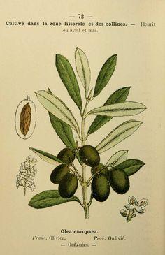 Dessins, gravures olivier / olea-europaea (Oleacée)