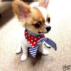 Chihuahua puppy - Jeban.com tipsfordogs.info/...