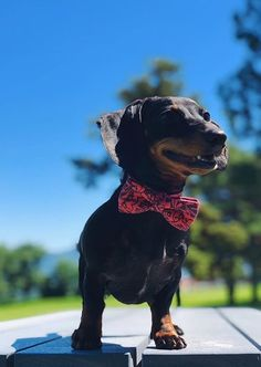 Perry's Bowtique is a unique online shop created simply to provide the best handmade accessories for all stylish pets out there. Bow Ties, Dog Cat, Pets, Stylish, How To Wear, Animals, Animales, Animaux, Animal
