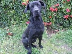 A1294501 in danger at East Valley is an adoptable Cane Corso Mastiff Dog in Beverly Hills, CA. GIOVANNI - ID