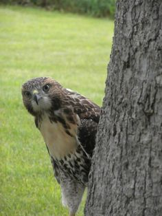Baby Hawk Grows up via ChesterJester on imgur