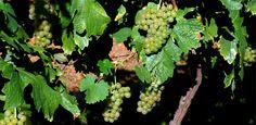 A origem desse nome é bem interessante. Apesar de a uva ser clara, seu nome vem da palavra francesa roux, que significa vermelho. Isso porque a variedade, ao amadurecer, adquire uma cor castanho-avermelhada.