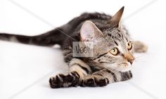 Cat, European Domestic Cat  Stock Photo