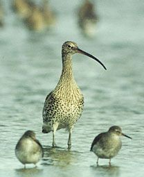 The Curlew Numenius arquata        photo Richard Mills