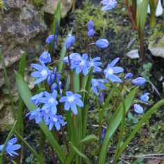 Chionodoxa luciliae or Glory of the Snow Glory Of The Snow, Sparrow Nest, Woodland Garden, Garden Seeds, Green Garden, Stone Work, Hedges, Daffodils, Spring Flowers