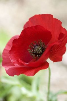 Papaver (Field Poppy) for Grandad, thanks for the long walks and hidden sandwich. Papaver (Field P Exotic Flowers, Love Flowers, Beautiful Flowers, Poppy Flowers, Poppies Tattoo, Red Poppies, Flower Art, Planting Flowers, Bloom