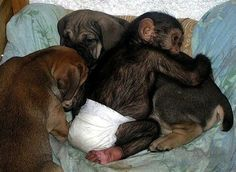a sick mother chimpanzee died, leaving her baby behind as an orphan. A zoo employee took her orphan baby home, knowing that it would need attention during the early stages of its life. The employee knew the baby needed attention, but they didn't realize it would be adopted into a brand new family - of dogs!..The momma dog just had a litter of pups, so her maternal instinct was strong. As soon as she saw the baby chimp, she wanted to care for it.it was accepted immediately into the family. :)