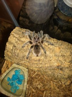 Schumann- this is my tarantula, Itsy. I chose this picture because I like how the red in her hair shines in the flash!