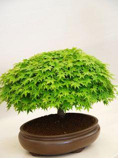 Bonsai trees. Please check out my website thanks. www.photopix.co.nz                                                                                                                                                     Mais