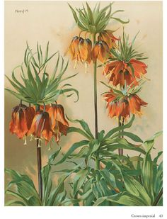 Artistic Plants and Flowers Ѿ CROWN IMPERIAL Ѿ Welcome to Dover Publications Ѿ Fritillaria imperialis (Crown imperial or Kaiser's crown) is a species of flowering plant of the genus Fritillaria, family Liliaceae, native to a wide stretch from Anatolia and Iraq across the plateau of Iran to Afghanistan, Pakistan and the Himalayan foothills. It is also widely cultivated as an ornamental and reportedly naturalized in Austria.