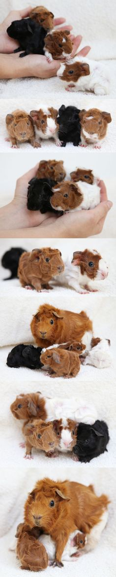four new baby guinea pigs, born overnight last night. (two months after those: some similar, some new colors the last picture shows the universal method of good animal parenting: sitting on the little ones and pretending like they aren't really there.