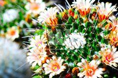 flowering_cactus_5991.jpg (550×364)