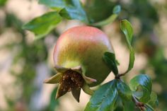 https://flic.kr/p/CEbwpC | Pomegranate | Melograno