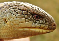 Southern Blotched Blue-Tongue by Illirik.deviantart.com on @DeviantArt