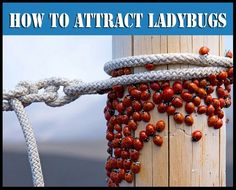 How to Make a Ladybug Feeder Attract Them to Your Garden ~ they feed on aphids…