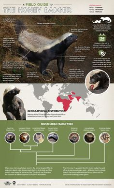 Infographic: A field guide to the Honey Badger Animals Of The World, Animals And Pets, Funny Animals, Animals Information, The Lion Sleeps Tonight, Wild Animals Pictures, Cat Anatomy, Honey Badger, Science And Nature