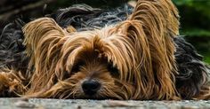 Free Photo: Dog, Yorkshire Terrier, Lazy Dog - Free Image on Pixabay - 195877 Yorkshire Terrier Dog, Dog Upset Stomach, Easiest Dogs To Train, Cute Dog Pictures, Free Pictures, Free Photos, Mundo Animal, Dog Training Tips, Training Classes