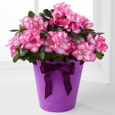 Flowering Fun Birthday Azalea Plant http://www.rosasflowers.net/product/flowering-fun-birthday-azalea-plant/display