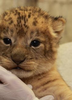 1000 images about wildlife on pinterest cubs snow leopard and lion