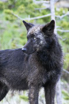 Beautiful and wild -- BLACK WOLF in YELLOWSTONE NATIONAL PARK – Wolves have just lost their endangered species, protected status in Wyoming.  As of October 1, 2012, in many areas of Wyoming, it becomes legal to shoot wolves on sight except in protected park or refuge areas . . . http://www.examiner.com/article/wolves-lose-endangered-species-status-wyoming?cid=rss